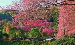 女生节|带她去清迈赏樱花,竟然比日本还美!
