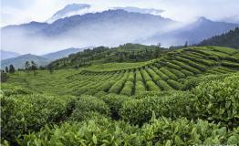 第二届峨眉山春茶旅游节开幕 一体化体验游成新亮点