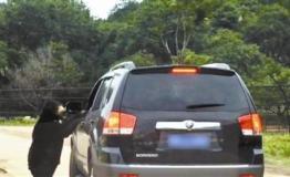 又见游客在野生动物园猛兽区开窗遭熊袭 园方称将调查